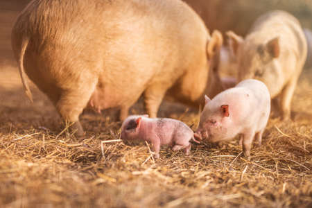 Little piggy in farm