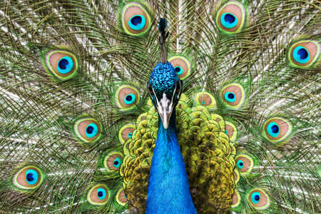 The Indian Peafowl is also sometimes called the Blue Peacock. Together with the green peacock belongs to the pheasants family. Reklamní fotografie