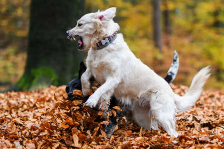 Young golden retriver playing in fallen leaves in autumn.