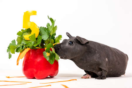 Black skinny guinea pig with vegetable cake. Fice years old.