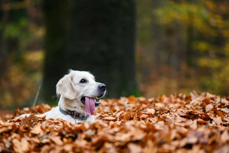 Young golden retriver playing in fallen leaves in autumn. Reklamní fotografie - 138736309