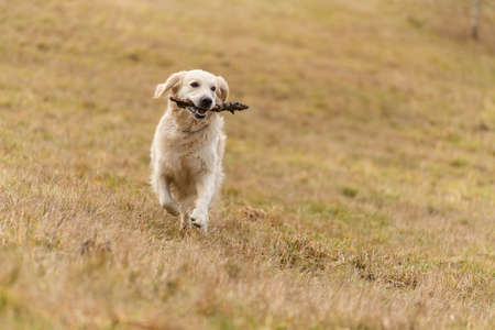 Golden Retriver playing with a stick in the meadow Reklamní fotografie - 158803401