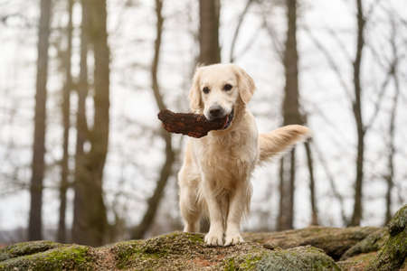 Golden Retriver playing with a stick in the meadow Reklamní fotografie