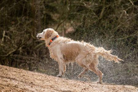 Golden retriever shaking off water after bath Reklamní fotografie