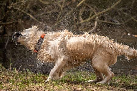 Golden retriever shaking off water after bath Reklamní fotografie - 158803436