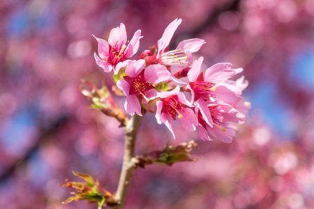 Gorgeous pink spring flowers starting to bloom on a warm and sunny spring day Standard-Bild