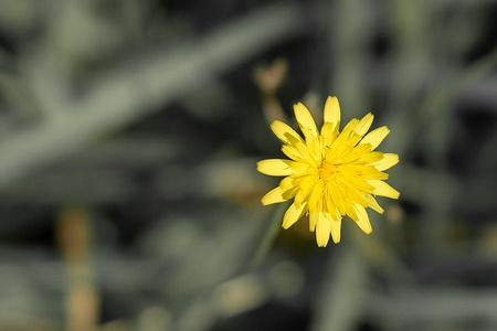 Single yellow dandelion standing out among the green grass