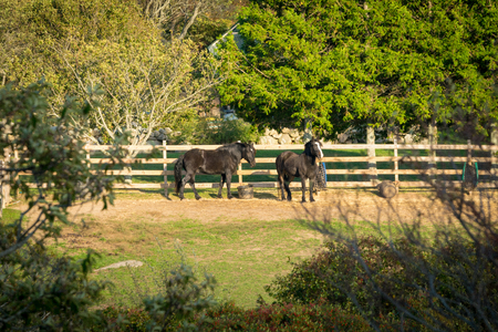 Two beautiful black horses relaxing in their fenced-in corral, among trees, bushes, and plenty of grass, on a warm summer day, Block Island, Rhodes Island, USA Banque d'images - 120964379