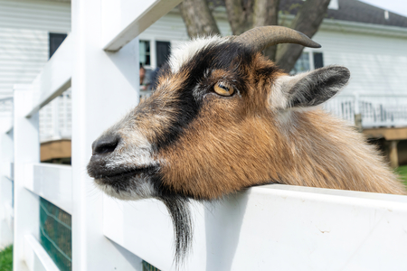 Cute small brown goat peeks though a white fence at a petting zoo in Pennsylvania