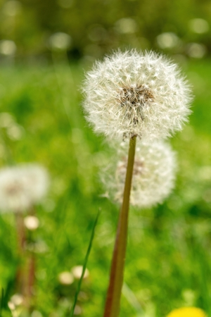 Closeup of dandelions with plenty of seeds, standing in a meadow of lush green grass on a beautiful and sunny spring day Stock Photo