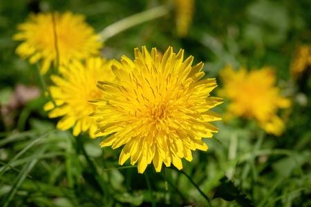 Beautiful yellow dandelion in full bloom among lush green grass
