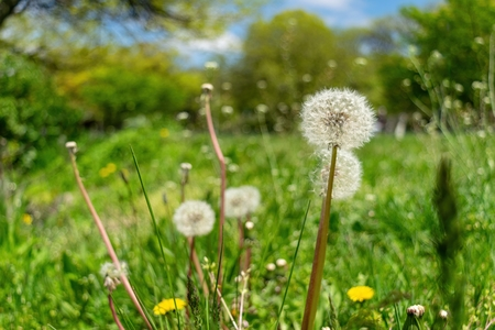 Dandelions with plenty of seeds, standing in a meadow of lush green grass on a beautiful and sunny spring day Stock Photo