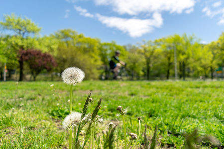 Dandelions with plenty of seeds, standing in a meadow of lush green grass on a beautiful and sunny spring day, with bike riders passing in the background