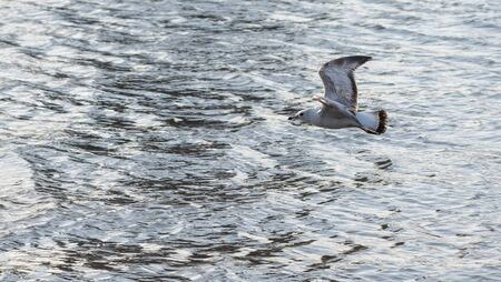 Close-up of a seagull in flight, just above the calm waves of the East River, New York City