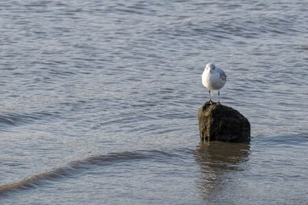 A lone seagull standing on a rock in the shallow waters of the East River Stock Photo