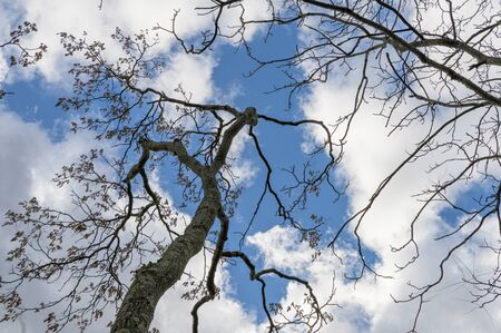 Trees reaching up toward the clouds and a beautiful blue sky in Upstate New York Stock Photo