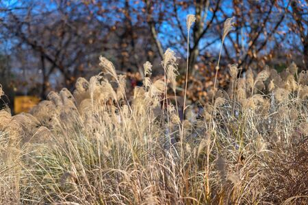 Thin reeds gently swaying in the breeze, on a beautiful autumn day