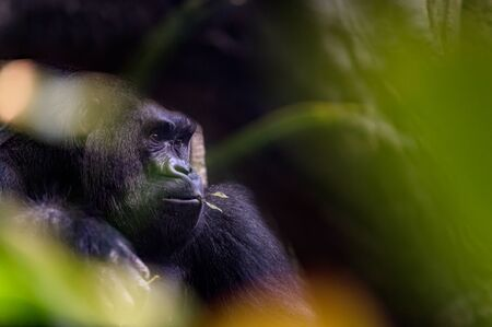 Close-up of a gorilla resting in the hot afternoon sun