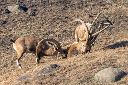 A small group of Ibex enjoying a leisurely afternoon in the sun Stock Photo