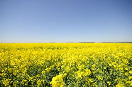coleseed: Field of yellow kolza