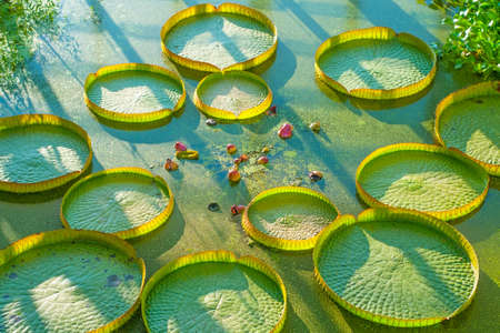 Aquatic plants and water lilies in a pond photo