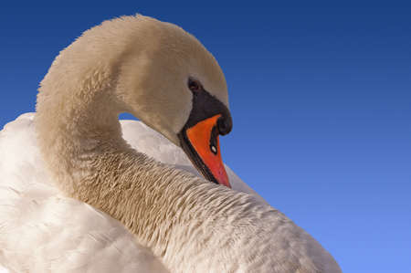 Detail of white Mute Swan on a blue background photo