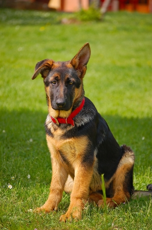 Perplexed puppy german shepherd sitting on green grass photo