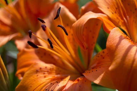 Close up of blooming orange lilies - Lilium bulbiferum photo