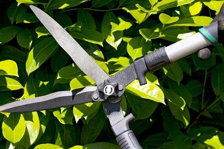 garden shears: Tijeras de jard�n cortando un seto en el jard�n
