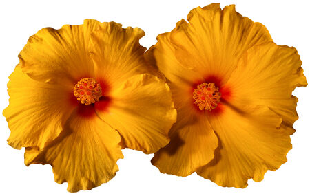 Close up of blooming of two orange hibiscus flowers - Hibiscus syriacus - isolated on white background photo