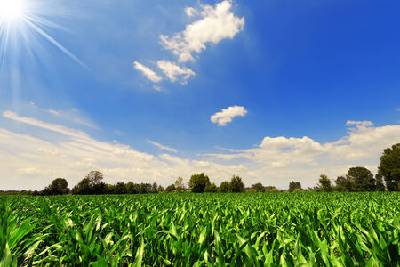 corn field: Corn field under a beautiful sky with clouds and sun rays