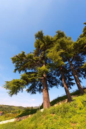 cedars: Three cedars of Lebanon (cedrus libani) in the hill on blue sky in summer Stock Photo