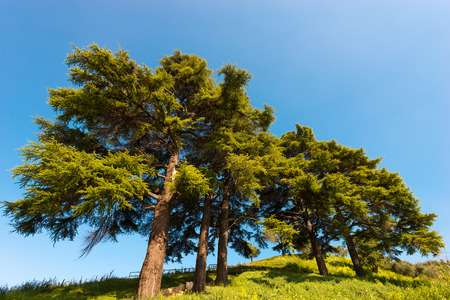 cedro: Cinco cedros del Líbano (Cedrus libani) en la colina en el cielo azul en verano Foto de archivo