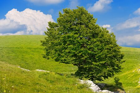 lonely: Lonely Beech Tree on blue sky with clouds in the Regional Natural Park of Lessinia Veneto Verona Italy