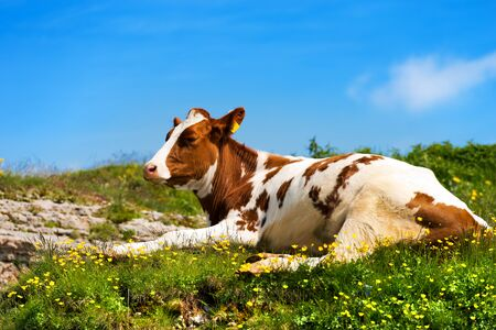 White and brown calf resting on a mountain pasture with green grass yellow flowers and blue sky with clouds