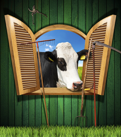 milker: Wooden wall with old farm tools and an open window with a head of cow. Agriculture and livestock concept