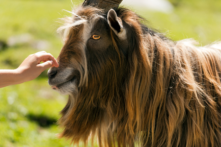 billygoat: Brown and white billy goat with long fur and horns caressed by a human hand Stock Photo