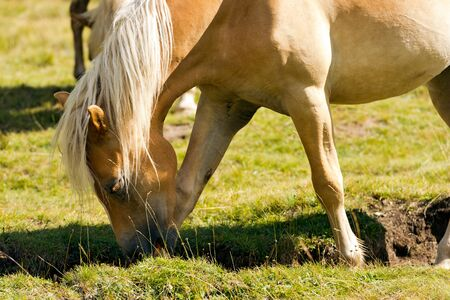 light brown horse: Detail of a brown and white horse grazing in a green alpine pasture