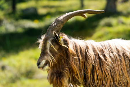 billygoat: Brown and white billy goat with long fur and horns. Italian Alps Stock Photo