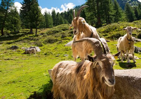 mountain goats: Group of mountain goats looking the camera. Alpine landscape in the background