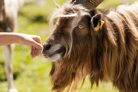 goat head: Brown and white billy goat with long fur and horns sniffs a human hand Stock Photo