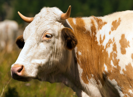 heifer: Close up of a head of brown and white heifer with horns Stock Photo