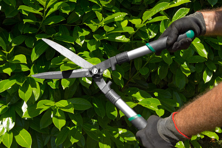 Hands of a professional gardener man with gloves and garden shears cutting a green hedge in the garden Standard-Bild