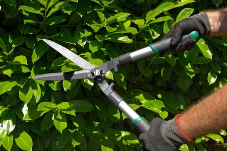 hojas de arbol: Manos de un hombre jardinero profesional con guantes y tijeras de jard�n de corte un seto verde en el jard�n