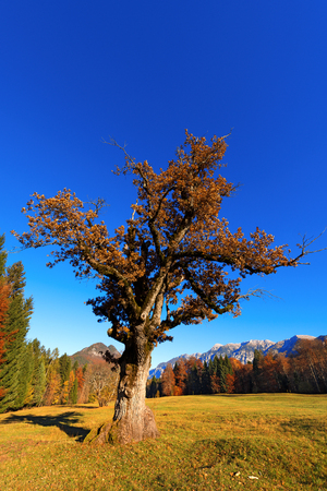 red oak tree: Old oak tree in autumn on a meadow with pines and mountains on the background. Val di Sella Sella Valley, Borgo Valsugana, Trento, Italy