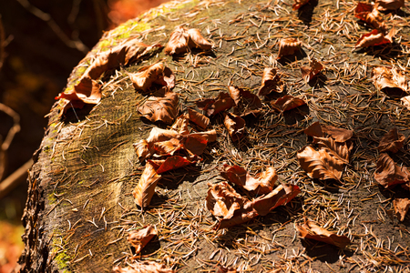 underbrush: Old tree stump with pine needles and brown dry leaves in the undergrowth Stock Photo
