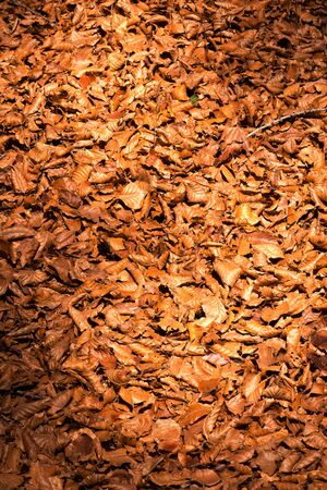 underbrush: Brown, orange and red autumn leaves on the ground in the undergrowth.