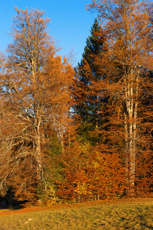 sella: Detail of an autumnal forest with pines, beeches and firs at sunset. Val di Sella Sella Valley, Borgo Valsugana, Trento, Italy Stock Photo