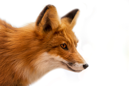 Close up of a red fox isolated on white background 写真素材