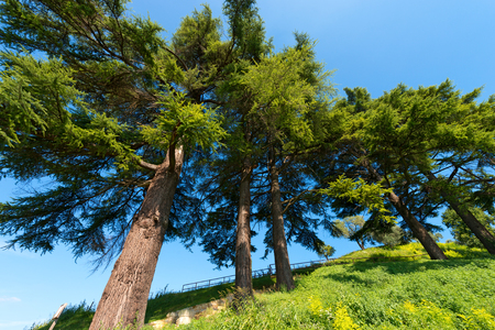 cedars: Group of cedars of Lebanon cedrus libani in the hill on blue sky in summer